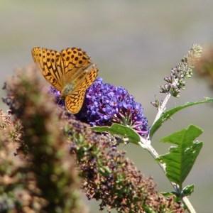 Wildflower Mix, Butterfly Mixture