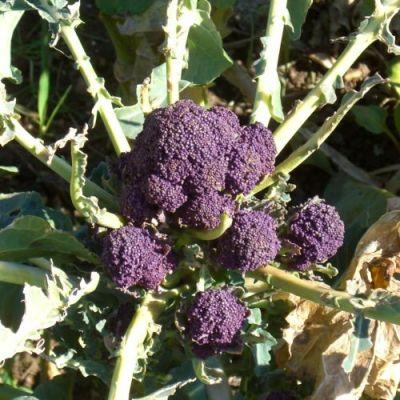 Broccoli, Purple Sprouting Late