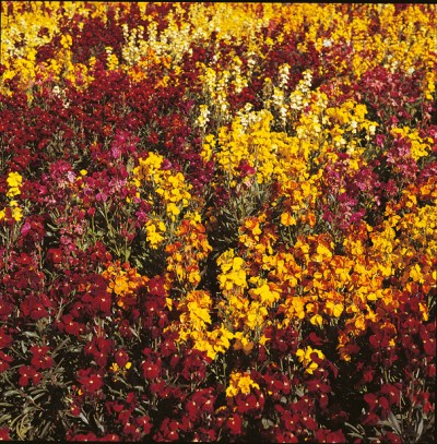 Wallflower, Persian Carpet Mixed