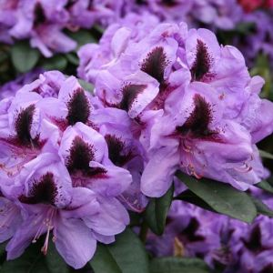 Rhododendron 'Metallica'