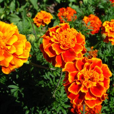 Marigold French Dwarf Double Mixed