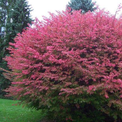 Euonymus alatus (Spindle bush)