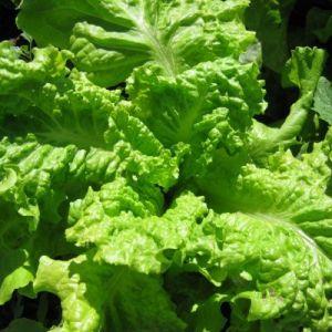 Lettuce Batavia Black Seeded Simpson