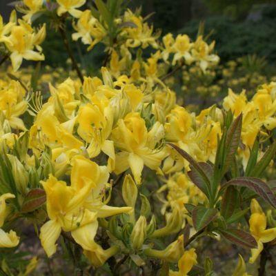 Azalea pontica (Rhododendron luteum)