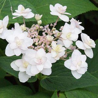 Hydrangea involucrata 'Tokado Yama'