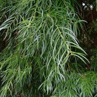 Podocarpus salignus (female)