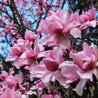 Magnolia campbellii 'Charles Raffill'