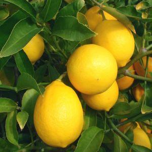 Citrus × meyeri  (Meyer lemon)
