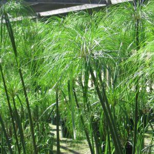 Cyperus papyrus 'Green Golds'