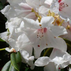 Rhododendron Silver Jubilee