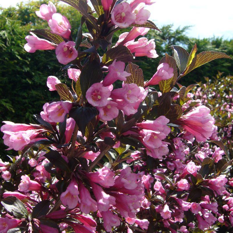 Abelia Chinensis Edward Goucher Deelish Garden Centre