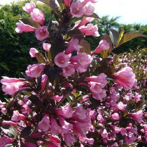 Abelia chinensis 'Edward Goucher'