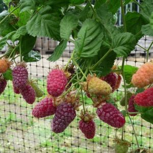 Rubus x loganobaccus (Loganberry)