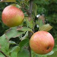 Apple 'Irish Peach'  (Bareroot)