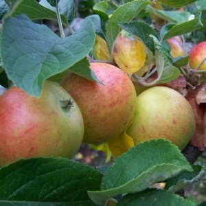 Apple 'Kerry Pippin'