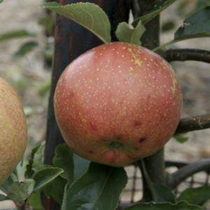 Apple 'Cornish Aromatic'  (Bareroot) Maiden