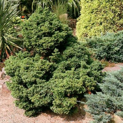 Cryptomeria japonica bandai sugi