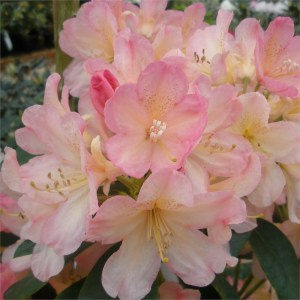 RHODODENDRON 'Percy Wiseman' (Compact variety)