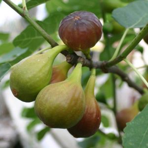 Ficus carica 'Precoce de Dalmatie'