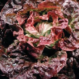 Lettuce 'Continuity'