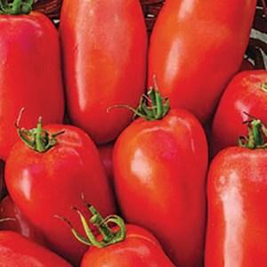 Tomato, 'Roma VF'