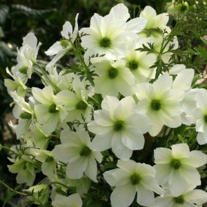 Clematis 'Early Sensation'