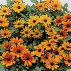 Rudbeckia 'Becky Mixed'