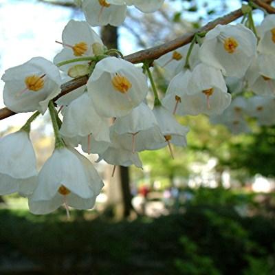 Halesia carolina/parviflora