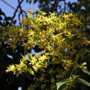 Koelrutaria paniculata