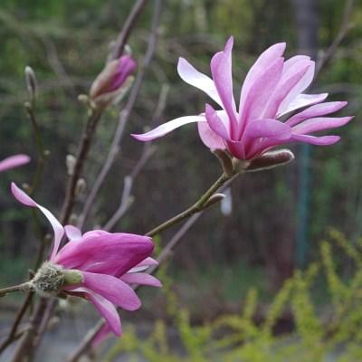 Magnolia loebneri 'Leonard Messel'