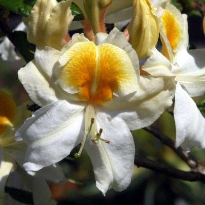 Azalea 'Persil'