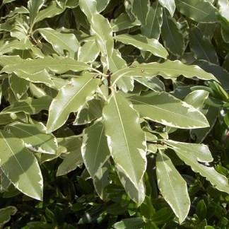 Pittosporum eugeniodes variegatum