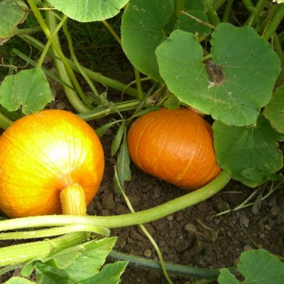 Pumpkins & Gourds, Uchiki Kuri