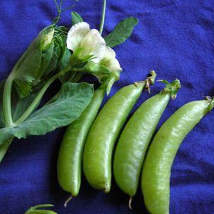Peas - 'Sugar Ann'