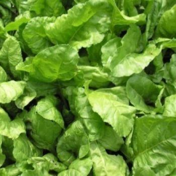 Leaf Beet, Perpetual Spinach 15 gram pack