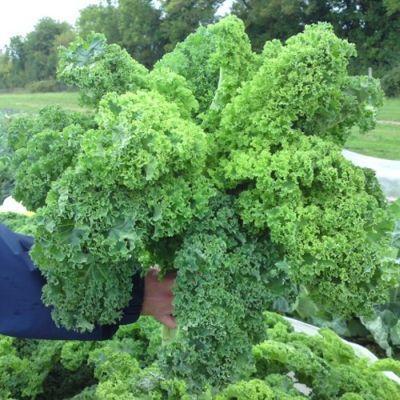 Kale, Westland Winter