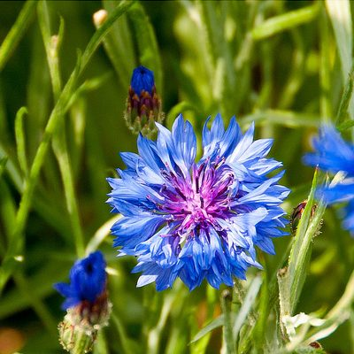 Cornflower, Double Blue