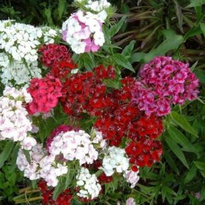 Sweet William, Double Mixed