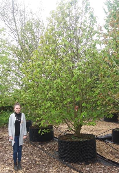 Davidia Involucrata Handkerchief Tree Or Dove Tree