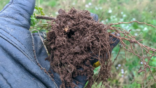 A handful of soil and roots