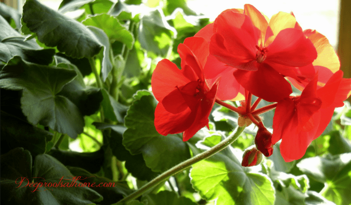 Glorious Geraniums At Your Window In Winter, humidity, pruning, pinching back, continuous budding, blooming, artwork, flower nursery, flowers, winter sky, sun's path, old children's books, color, Geraniums, liquid plant food, gardening indoors, south facing window, continuous blooming, cheerful home, cut back plants, prune plants, fuller plants, monster plants, Schultz Instant Liquid Plant food, John 15: 1-2, God's natural principles, photos, DIY, homemaking, homemade, encouragement for women, beauty, enrichment, indoor gardening,