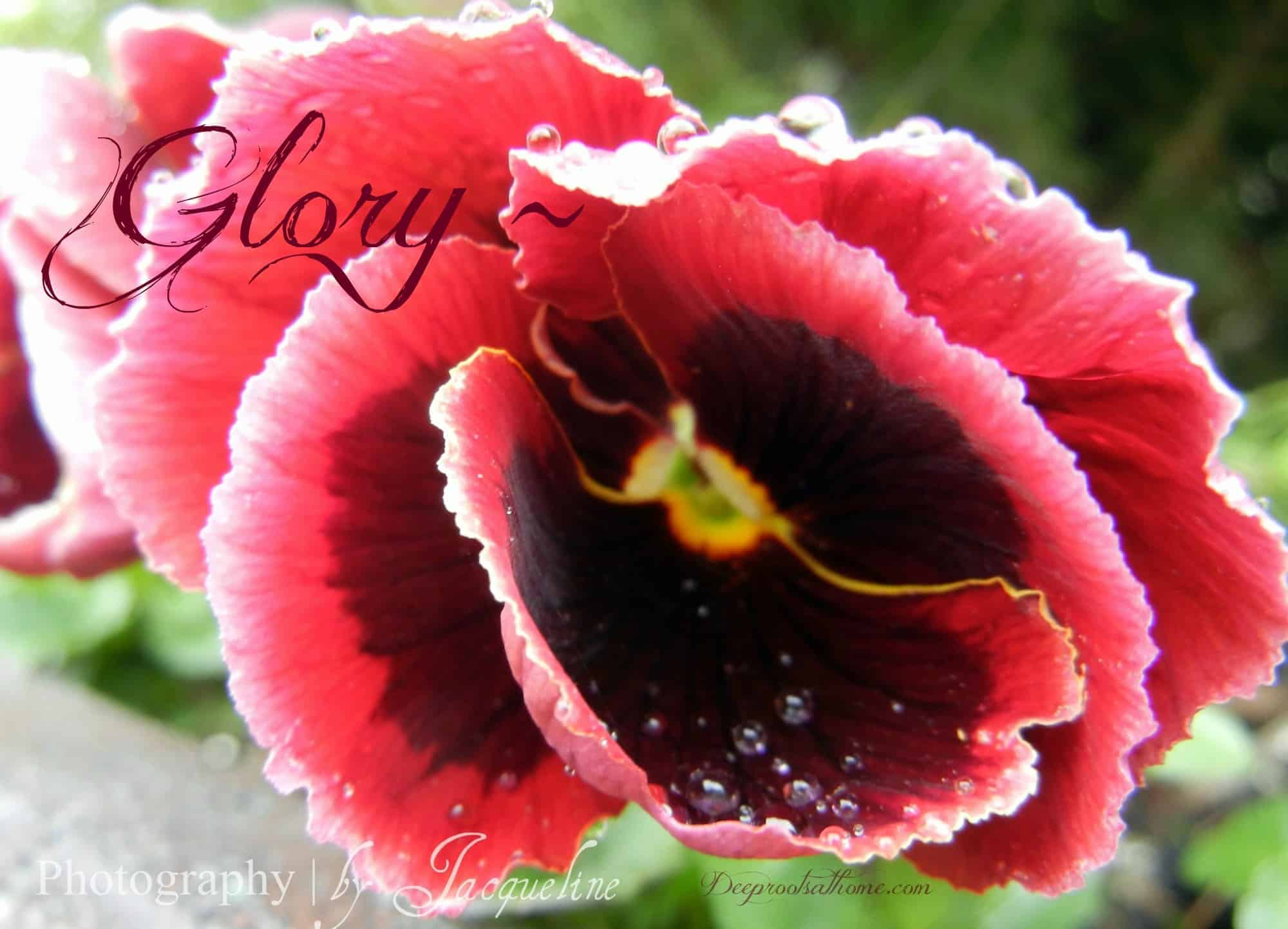 Glory ~, photography, Blaise Pascal, C.S. Lewis, The Problem Of Pain, pansy, worship, glory of the Lord, Macro Monday, lunatic, quotes, Creation, wonder, nature, beauty, design, artwork, jewels, color, theology, mathematics, treasures, earth, plants, pansy, flowers, red, garden, Eden, spring, fall, praise, adoration, hidden God,