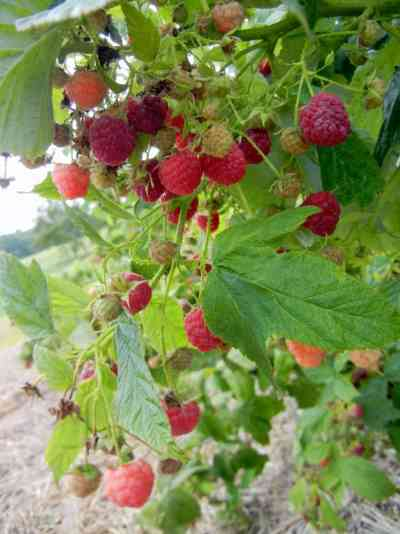 The Heritage Raspberry Patch, ever-bearing Heritage red raspberries, loaded with berries