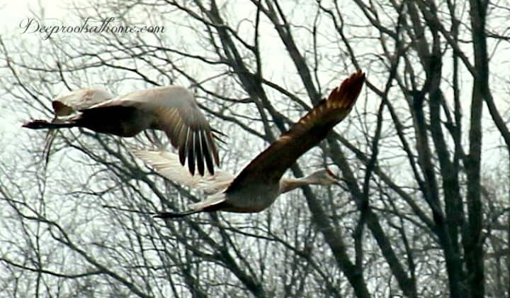 Sandhill Crane Migration Brings Visitors To Our Yard, sandhill cranes in flight, mated pair
