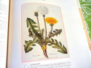 Dandelion GreensRecipe ~ Powerful Spring Tonic, botanical print of dandelion plant
