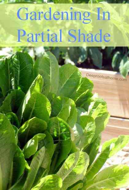 Vegetable Gardening In Partial Shade, arugula, endive, hot climates. bitter lettuce, bolting in heat, cilantro, spinach, Beets, Potatoes, Carrots, Parsnips, Radishes, leafy vegetables, University of Missouri website, herbs, basil, sage, parsley, chives, coriander, tarragon, seasons, arc of the sun, proposed site of garden, save water, extend garden season, trees, cooling shadow, peppers, iodine, perennials, walnut trees, okra, tomatoes, eggplants, tomatillos, corn, strawberries, rhubarb, potatoes, squash, sun-loving plants, shade-loving plants, intensive gardening, container, window box, cool weather plants, saving water, hours of sun, hours of shade, shady garden, vegetables, fruit, chart solar path during the day, shade-tolerant herbs, root crops, leafy vegetables, lettuces in the shade of tomatoe plants, tomato flowers, buds, green tomatoes