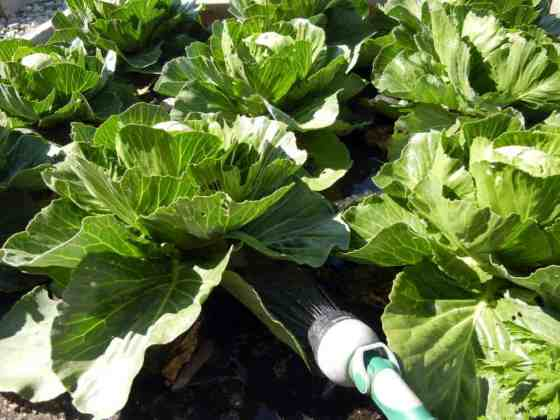 Ramblings About Rain-Barrels, watering cabbages with rain water, rain barrel collection