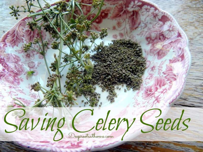Saving Celery Seeds From the Garden / Health Benefits. regrowing celery, saving celery seed, celery flowers, health benefits, cool weather plant, bog plant, cuttings from celery, garden DIY, frugal living, healthy living, lowering blood pressure, aid flow of breast milk, freshen breath, bog plants, seed savers, gardening