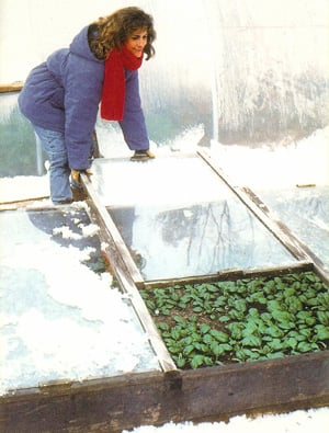 cold frame under snow, woman gardening, winter harvest, greens