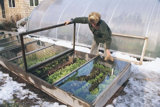 Choosing A Cold Frame That Works for You & 5 Plants That Defy the Snow, Italian flat-leaf parsley in the snow, cold frame in snow, Turnip Truck, kitchen garden, lettuces